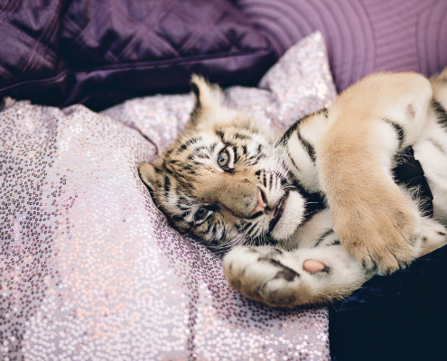 Baby tigers created the perfect event buzz. Guests were able to play with and the cats as well take selfies. It was the most instragramed piece of the event.